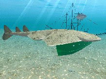 Atlantic Angel Shark, click to download