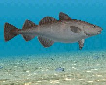 Atlantic Cod, click to download