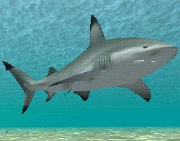 Blacktip Shark, click to download