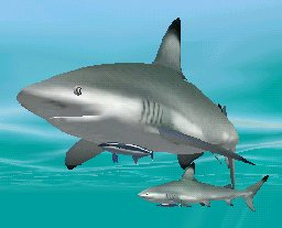 Blacktip Shark with Sharksucker, click to download