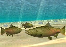 Chinook Salmon, click to download