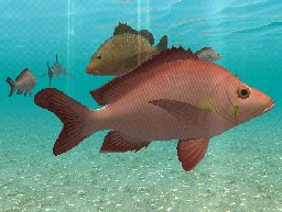 Humpback Red Snapper, click to download