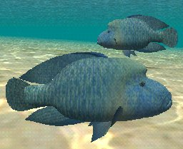 Humphead Wrasse, click to download