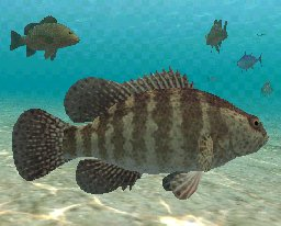Jewfish, click to download