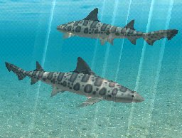 Leopard Shark, click to download