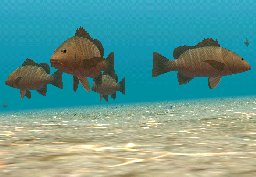 Mangrove Red Snapper, click to download
