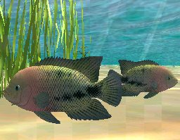 Redhead Cichlid, click to download