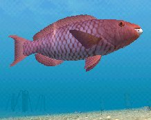 Red Parrotfish, click to download