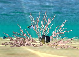 Staghorn Coral-Rose, click to download