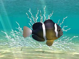 Yellowtail Clownfish, click to download